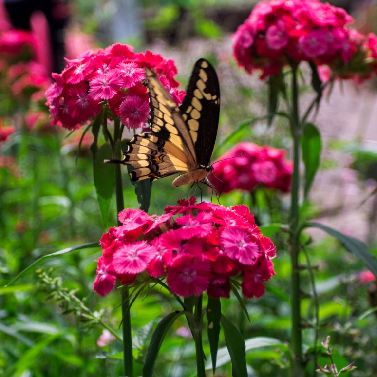 Butterfly on Dianthus Dash