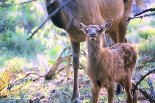 Baby Elk (Yosemite)