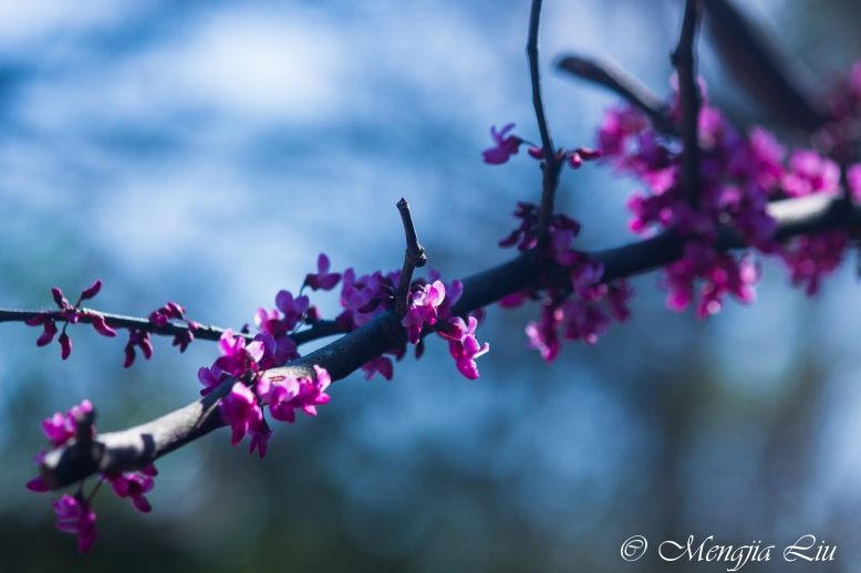 Plum Blossom Close Up.JPG