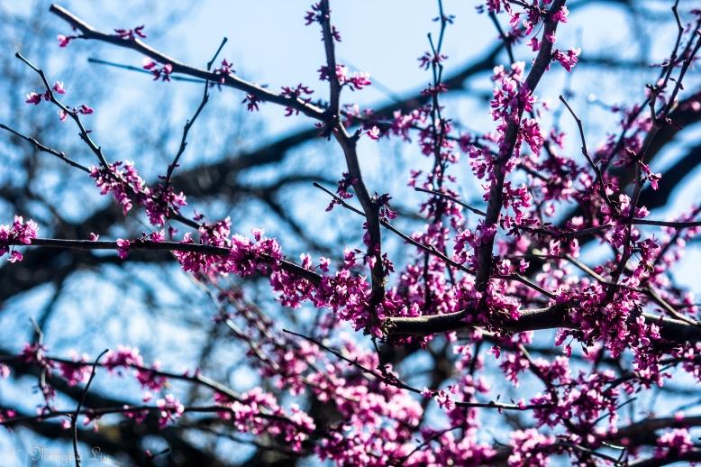 Plum Blossom.JPG